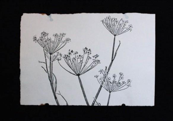 Black fennel 2